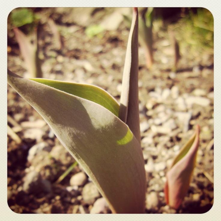 Tulipaner under utvikling