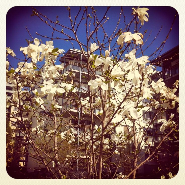 Magnoliatre