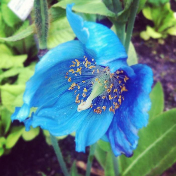 blå blomst